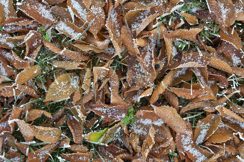 Winter scene hoar frost on fallen hornbeam leaves in The Cotswolds, UK