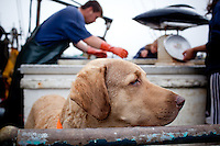 Dog on boat on the dock at Newport Bay harbor in Newport, Oregon while it's owner weighs tuna just brought in and ready for sale.