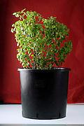 a black plastic planters pot containing a Basil plant