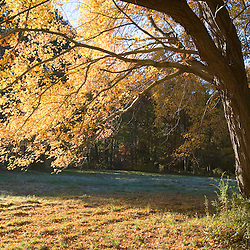 Light shines through the yellow leaves of a sugar maple in fall in Gloucester, Massachusetts.  (Great Ledge property)