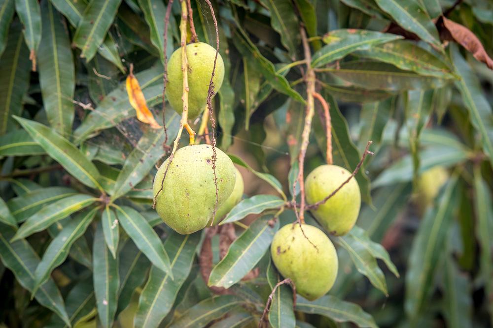 Mango's (mangifera indica) grow inPears hang offGanta, Liberia