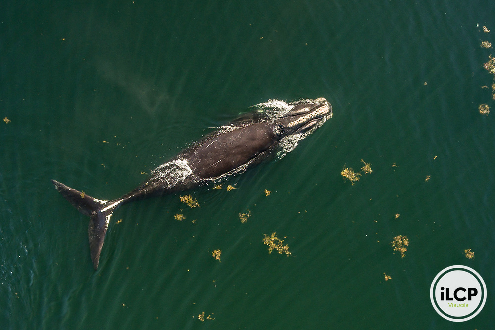 Aerial view of a North Atlantic Right Whale (Eubalaena glacialis) with entanglement scars on the tail stalk. Bay of Fundy, Canada, September, 2016.