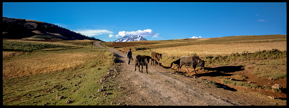 Cattle, Sacred Valley, Peru, 2003