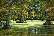 Back in remote area of Reel Foot lake, with cypress trees, and green duckweed. Near Tiptonville, TN. Reel Foot Lake