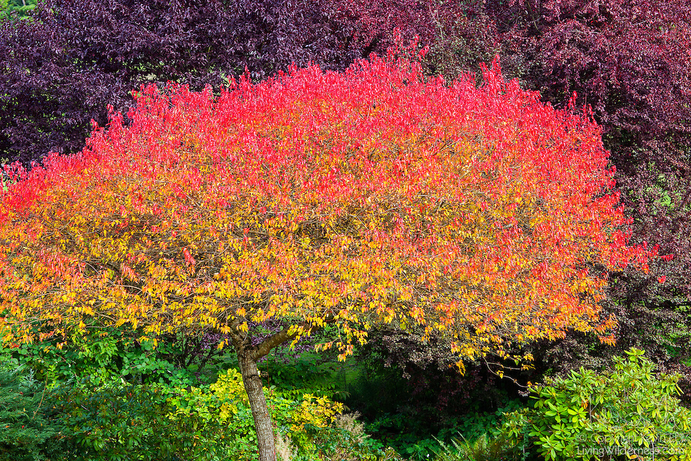 A deciduous tree is colored like a rainbow as autumn begins to set in in Snohomish County, Washington.