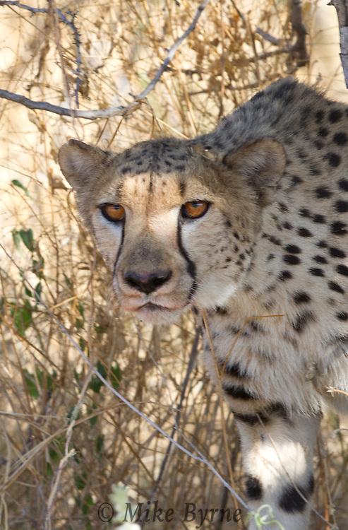 Cheetah (Acinonyx jubatus) at Dusternbrook Guest Farm, Namibia.