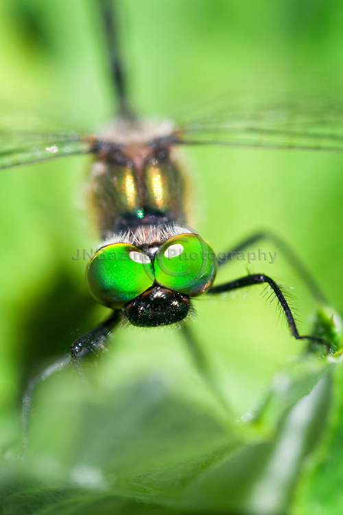Dragonflies have large eyes with about 30,000 facets that enable a nearly 360-degree field of vision as illustrated in this photo. (Quebec, Canada)