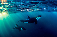 The killer whale or orca (Orcinus orca) is a toothed whale belonging to the oceanic dolphin family, of which it is the largest member in Norway, Tromso.  In the month of November, the sun still rise above the horizon, the orcas are seen frolicking beneath the morning sun.