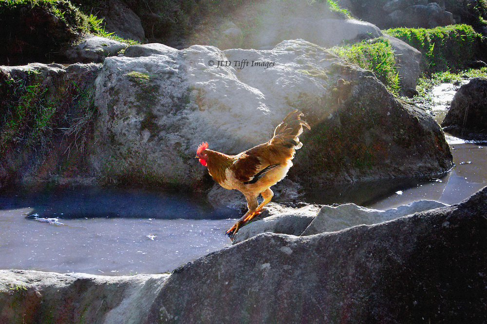 Glossy rooster considers a swim in the village irrigation canal, near SaPa, north Vietnam.