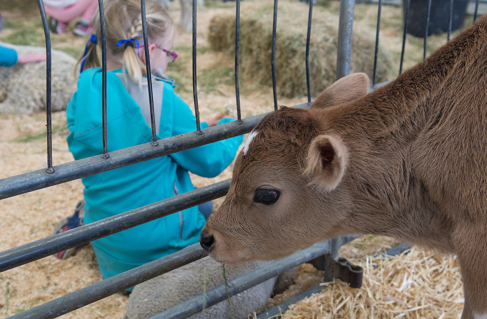 A calf at the Canterbury A&P Show, Christchurch, New Zealand, November 11, 2015. Credit: SNPA /  David Alexander.