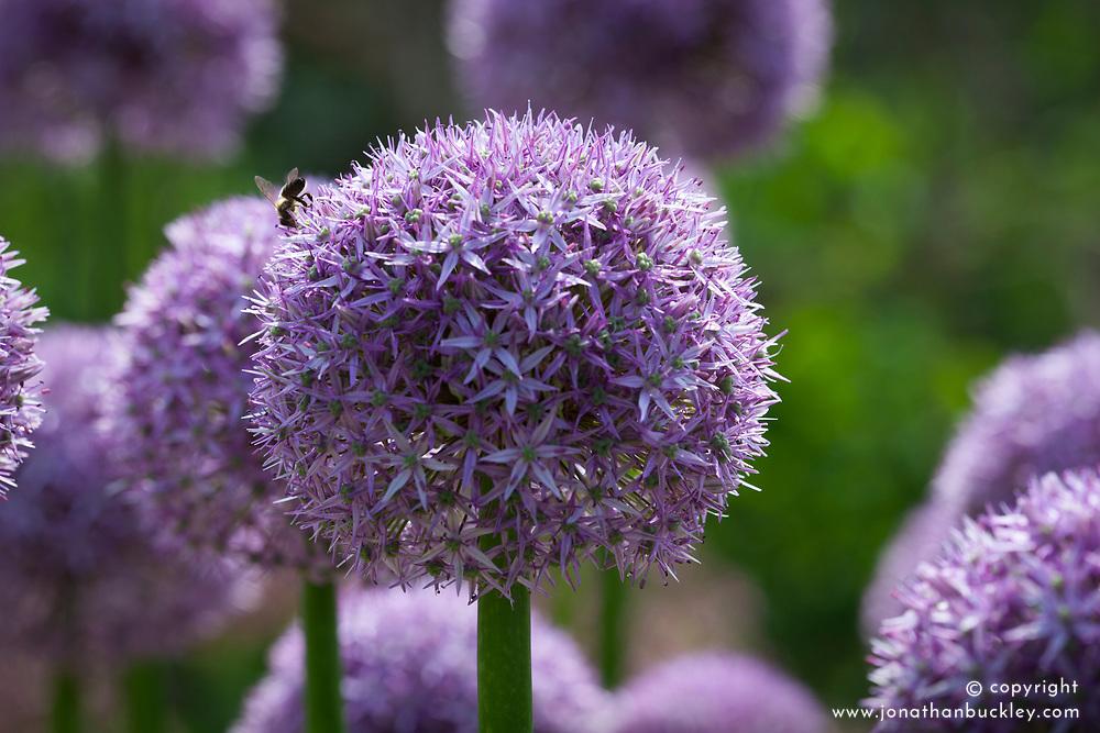 Allium 'Beau Regard' AGM