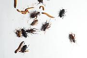 Betim_MG, Brasil.<br /> <br /> Insetos criados na Nutrinsecta para consumo humano  animal. Na foto grilo, baratas e larvas de tenebre.<br /> <br /> Insects created in Nutrinsecta for human and animal consumption. In this photo crickets,  cockroaches,Tenebrio molitor, Darkling beetle.<br /> <br /> FotoJOAO MARCOS ROSA / NITRO