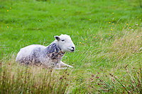 Sheep relaxing in field