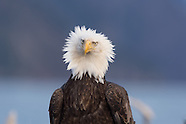 Alaska Bald Eagles 2014