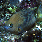 Threespot Damselfish inhabit reef tops in areas with algae in Tropical West Atlantic; picture taken Grand Cayman.