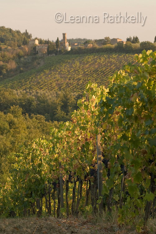 Grapes are ready for harvest in the vineyard, located next to the medieval Borgo of Cortine, in Chianti, Tuscany, Italy. The small borgo of Isole e Olena is visible in the distance.