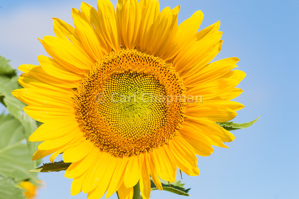 Flowering sunflower in field in summer morning sun near Ryeford, Queensland, Australia <br /> <br /> Editions:- Open Edition Print / Stock Image