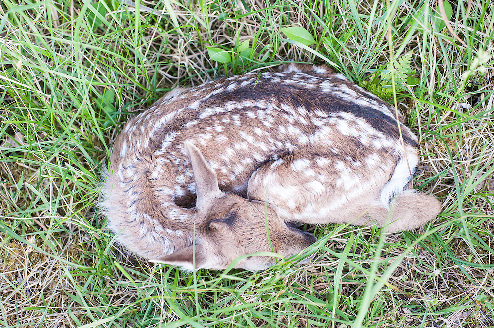 Fallow Deer fawn (Dama dama) lies hidden in the grass waiting for its mother to return.