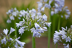 Agapanthus 'Blue Moon'. African lily