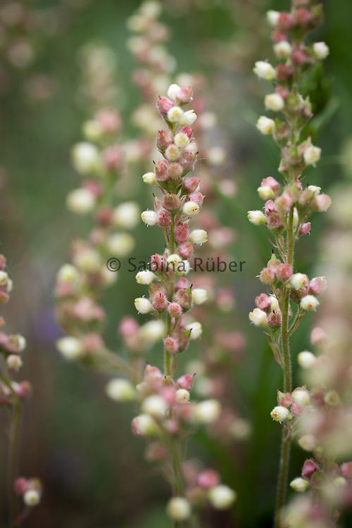 Heuchera cylindrica 'Greenfinch' - coral bells