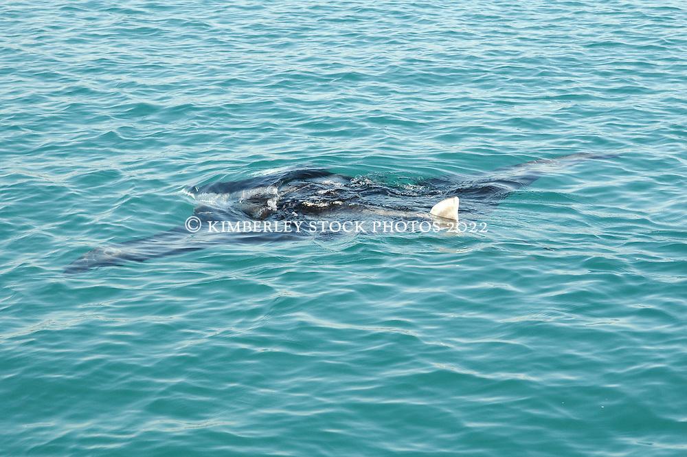 A manta ray feeds near the surface in Warrulgu Inlet on the Kimberley coast.