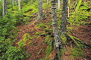 Acadian Forest<br /> Fundy Natinoal Park <br /> New Brunswick<br /> Canada