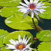 Water Lillies on pond. Quintana Roo. Mexico.