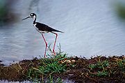 Black-necked Stilt & nest with eggs - Mississippi.