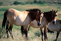 Mongolie, province de Tov, Parc National de Hustain Nuruu (Khustai) , Chevaux sauvages Takhi ou chevaux Przewalski (Equus caballus przewalskii) // Mongolia, Tov province, Hustain Nuruu National Park (Khustai), Przewalski's wild horses (Equus caballus przewalskii)