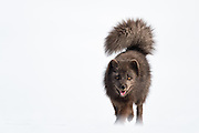 Wild Arctic fox in Iceland. Winter images in Hornstrandir area.