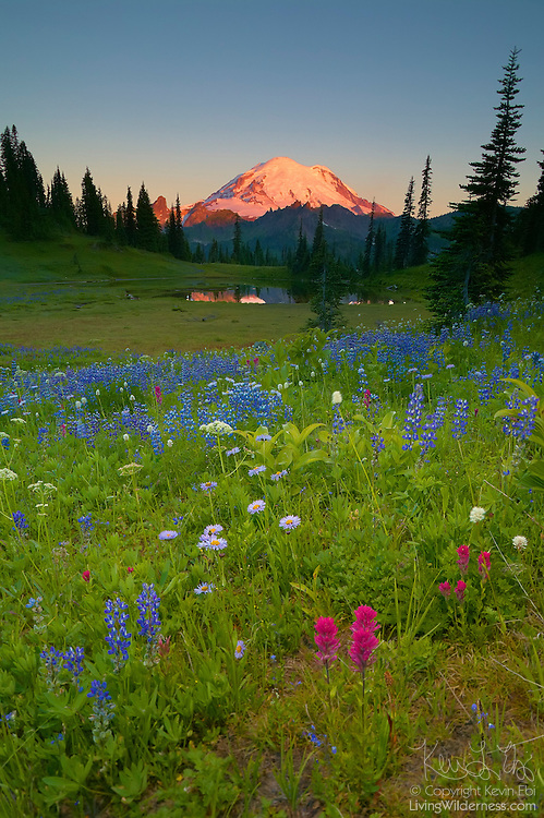 A variety of wildflowers, including Alpine aster (Oreostemma alpigenum), Broadleaf lupine (Lupinus arcticus) and Magenta paintbrush (Castilleja parviflora) grow near Tipsoo Lake, which partially reflects Mount Rainier at sunrise. This image was captured near the Chinook Pass Scenic Byway in Washington state.