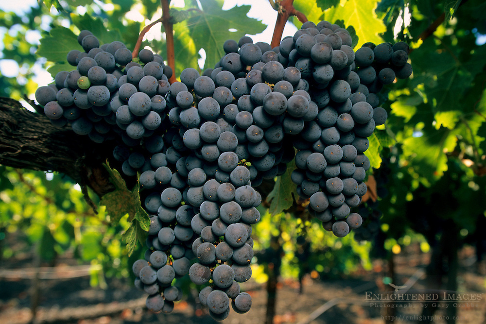 Wine grapes on vine at Kunde Estates, near Kenwood, Sonoma Valley, Sonoma County, California