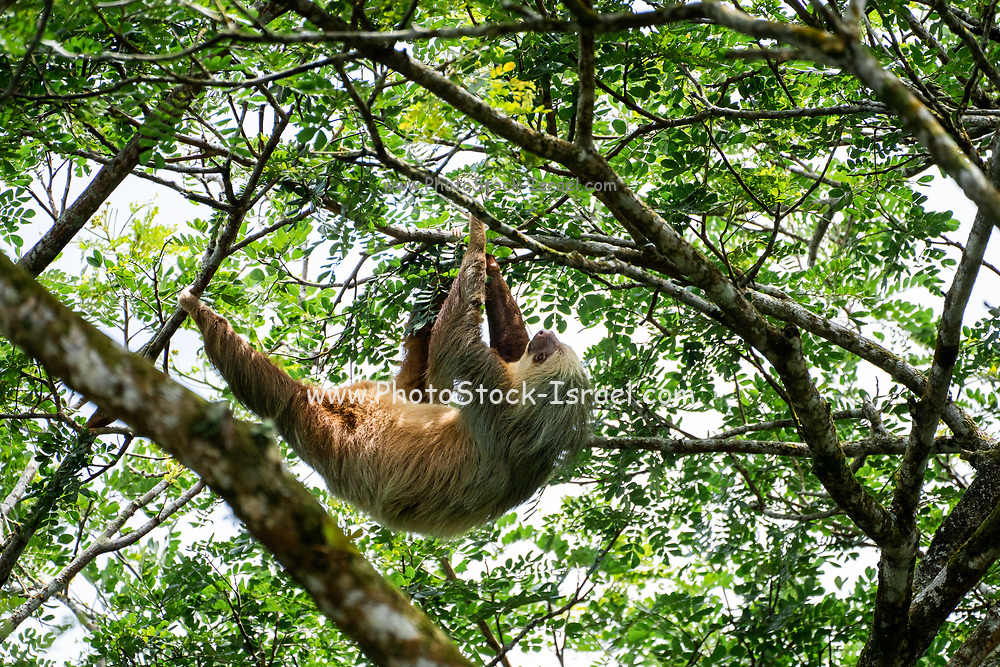 Hoffman's two-toed sloth (Choloepus hoffmanni) feeding in Manuel Antonio National Park in Costa Rica