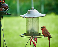 Northern Cardinal. Image taken with a Nikon D850 camera and 200 mm f/2 lens