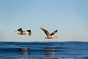 Brown Pelicans Flying over the the Ocean in Orange County