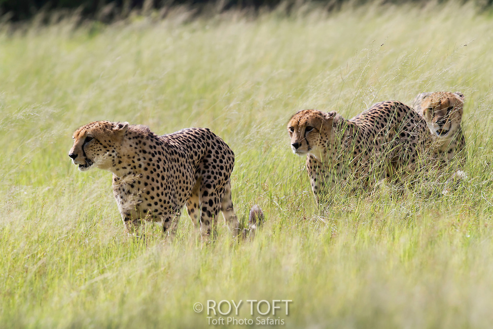 Three cheetah's walking through the tall grass, Botswana, Africa