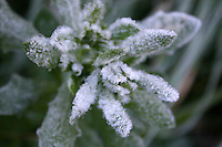 Frost covered plant in an Irish garden