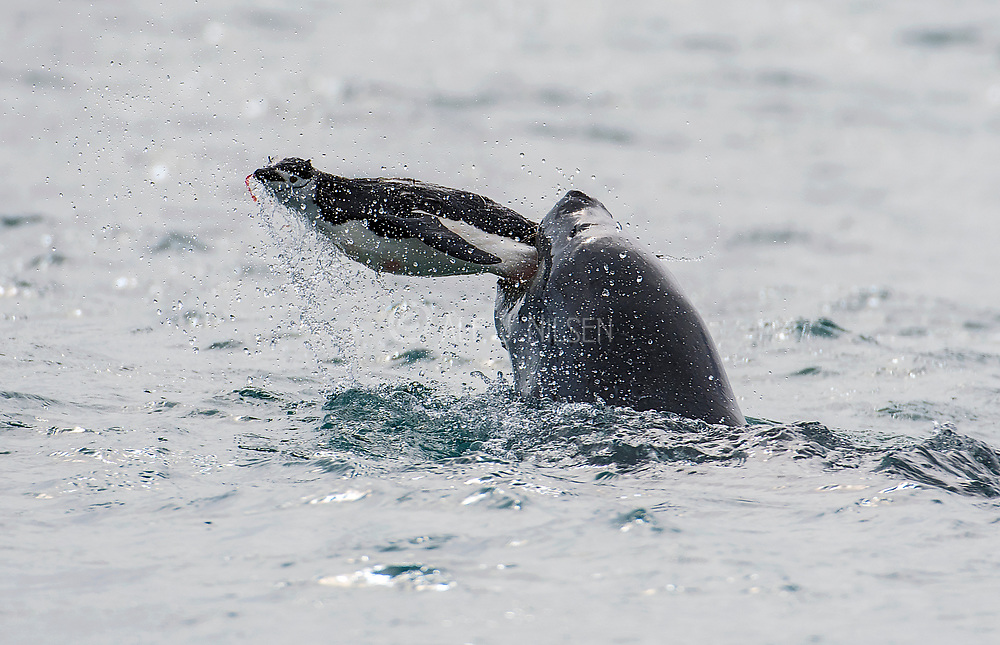 A Leopard Seal (Hydrurga leptonyx) is killing a Chinstrap Penguin off Penguin Island, Antarctica