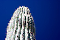 Organ Pipe Cactus (Stenocereus thurberi) against the blue sky, Organ Pipe Cactus National Monument, Arizona, USA