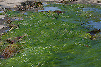 Wet Seaweed on Inis Mor Aran Islands County Galway Ireland