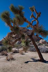 Joshua Tree (Yucca brevifolia) off the Barker Dam Trail, Joshua Tree National Park, California