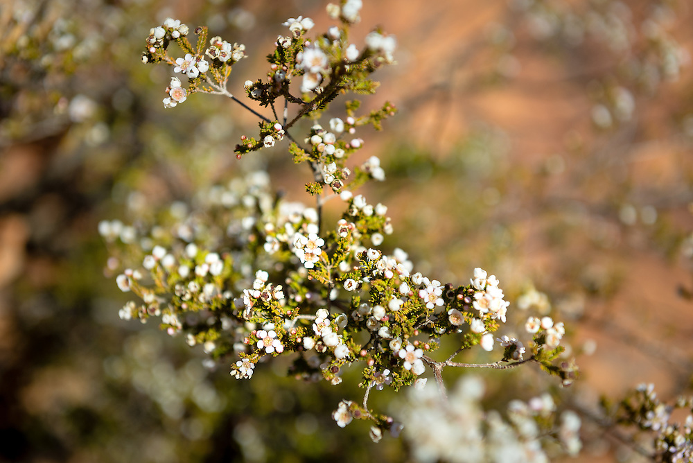 White native flowers at Kings Canyon National Park