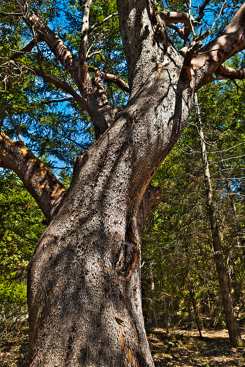 A Madrona Tree at Lime Kiln State Park, San Juan Island, Washington, USA.