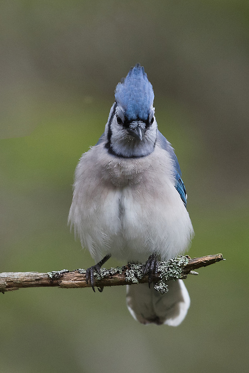 Blue Jay (cyanocitta cristata), Bass Harbor, Maine