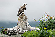 A juvenile Bald Eagle perched on a driftwood tree trunk at the McNeil River State Game Sanctuary on the Cook Inlet, Alaska. The remote site is accessed only with a special permit and is the world's largest seasonal population of brown bears in their natural environment.