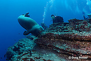 scuba divers observe Hawaiian monk seal, Monachus schauinslandi ( critically endangered and endemic to Hawaiian Islands ), Lehua Rock, near Niihau, off Kauai, Hawaii, USA ( Central Pacific Ocean )