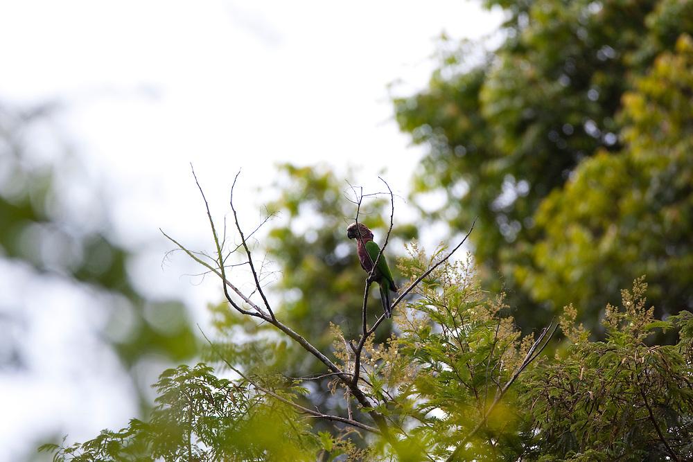 Carajas_PA, Brasil...Floresta Nacional dos Carajas, Para. Na foto um passaro...The Carajas National forest , Para. In this photo a bird...Foto: JOAO MARCOS ROSA / NITRO