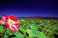 A water lily in full bloom on Clancy's Lagoon, the Mareeba Wetlands, Mareeba, far north Queensland.