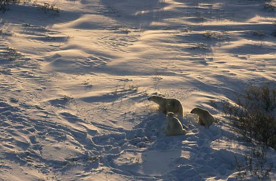 Polar Bear, (Ursus maritimus) Aerial of bear. Churchill, Manitoba. Canada.
