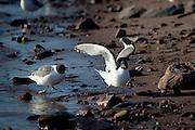Sabine's Gull chasing another, on a beach. Xema sabini, Sabine's Gull, near Humbolt Glacier, Kane Basin, North West Greenland